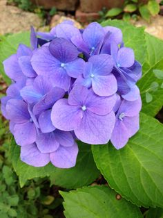 Hydrangea in my garden ;-)