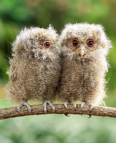 Three Eyes by Yensen Tan.  Celepuk Owlets (Javan Scops Owl)