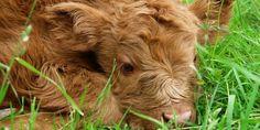 Biella: vitello denutrito in una stalla. Abbattuto dal veterinario