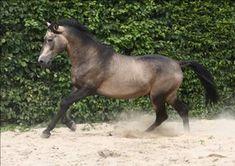 Horse Breed Lusitano