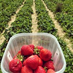 Berry Picking at Peterley Manor Farm