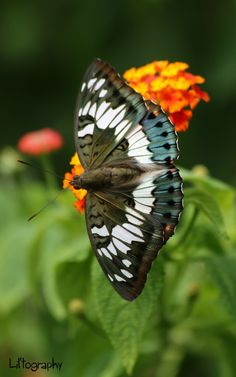 Butterfly by Lil'tography