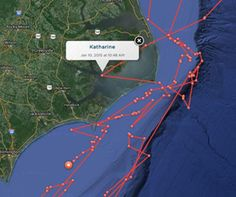 """A tracking device indicated that a """"famous"""" 14-foot great white shark, tagged in 2013 off the Massachusetts coast, apparently swam through Oregon Inlet, into and around Pamlico Sound during the second week of January."""