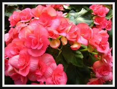 Wax Begonias - Five easy annual flowers for shade - Five easy annual flowers for shade