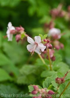 Aus meinem Garten: Mai (2) Mai, Roses, Plants, Passion Flower, Flowers, Garten, Pink, Flora, Rose