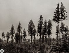357 of 365 12/23/2013 Black Pine   Beautiful grove of Black Pine trees in the Olympic National park.   This is 15 18mm photos stitched.  Like on Facebook http://facebook.com/shoottheskies Shoot The Skies Post. http://shoottheskies.com/post/71067053936/357 Twitter http://twitter.com/shoottheskies