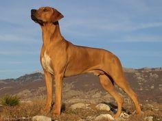 Dog Rhodesian Ridgeback