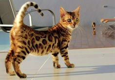 Cat Health More Cats 101 Video: The wild look of the Bengal cat comes from its ancestors, the Asian leopard cat and the domestic shorthair. Rare Cats, Exotic Cats, Pretty Cats, Beautiful Cats, Serval, Bengal Cat For Sale, Asian Leopard Cat, Cute Cats And Kittens, Bengal Kittens