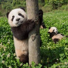Photo by for These baby pandas at Dujiangyan Panda Base were born weighing only a few ounces and will grow to by the time they are 6 months old! Panda Love, Cute Panda, Panda Panda, Animals And Pets, Baby Animals, Cute Animals, Wild Animals, Baby Panda Bears, Baby Pandas