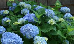 Learning how to prune endless summer hydrangeas is not really that hard if you keep a few things in mind. For most who have the mop-head everlasting