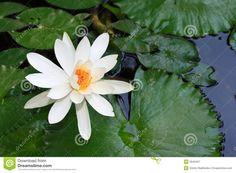 water lilly ponds | Royalty Free Stock Photography: Water lily in pond