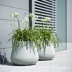 Do you like this basic colour of the pure cone flowerpot combined with the African Agapanthus? Agapanthus In Pots, Potted Plants, Garden Plants, Colorful Garden, Garden Boxes, Green Flowers, Basic Colors, Outdoor Rooms, Reading Room