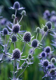 The silver-blue petals and thistlelike foliage of sea holly (shown here with bright green dill) stand almost hip-high in the flowerbed. This ghostly giant is a biennial, and the plant readily reseeds itself. Grows comfortably in Zones 5-8.