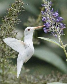 Albino Hummingbird by Colcolk
