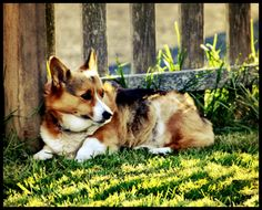 corgi...   JO: DANG....This tricolored baby Sure could be my Sasha in the backyard in the late Summer afternoon... <3 :''')