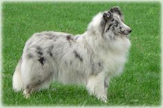 Bi-Blue Sheltie Puppies | bi blue ocean from shamrock river shannon geb am 2
