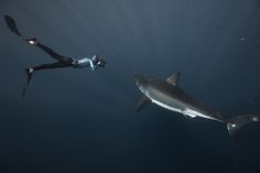Great White Sharks - Fred Buyle
