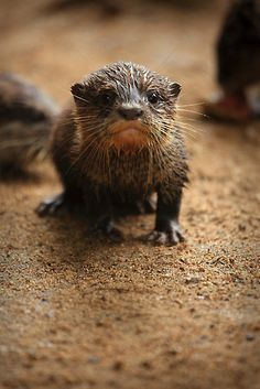 Another otter pic for Reiko