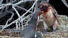 """""""O Grito do Bicho"""": Vídeo: pinguim causa briga após ver fêmea com 'ama..."""