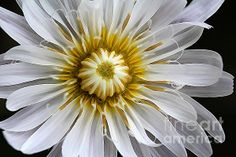 Closeup of fully open White Rock Lettuce (pinaropappus roseus) blossom. It is also commonly known as a White Dandelion. White Dandelion, Floral Artwork, Wildflowers, Lettuce, Close Up, Fine Art America, Art Photography, Floral Design, Original Art
