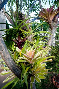 Bromeliads, Orchids, and Tillandsias in the Plumeria Tree by Rand Tropical Landscaping, Tropical Garden, Tropical Plants, Tropical Flowers, Succulents Garden, Garden Plants, Planting Flowers, Exotic Plants, Exotic Flowers