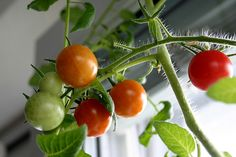 Live on the third floor of an apartment and cant have a garden like me?  Well here are some foods you can grow inside your home.