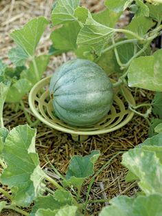 Melon and Squash Cradles   Buy from Gardener's Supply -- Great idea!  I'll be using these in my garden this year.