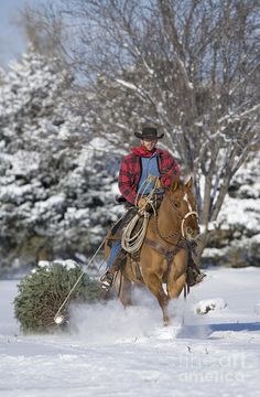 Cowboy in Colorado towing home a tree he cut for Christmas on his Quarter Horse.