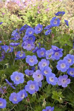 When you need to add oomph but not overwhelm a color scheme, Rozanne Cranesbill is ideal. Let this tumbler spread in front of borders and soften the edges of lawns and patios. Partial to full sun. Zone: 4 – 10