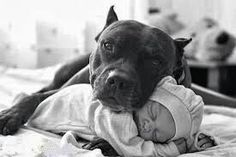 Resultado de imagen para pitbull perro niñera