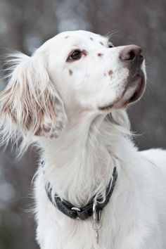 """Click visit site and Check out Cool """"English Setter"""" T-shirts. This website is superb. Tip: You can search """"your name"""" or """"your favorite shirts"""" at search bar on the top. Beautiful Dogs, Animals Beautiful, I Love Dogs, Cute Dogs, English Setter Puppies, Animals And Pets, Cute Animals, Gordon Setter, Hunting Dogs"""