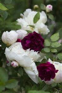 Burgandy Peonies&White Rose
