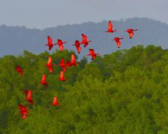 Scarlet Ibis; the national bird of Trinidad and Tobago. Such a beautiful flock to see at the Caroni Swamp, Trinidad