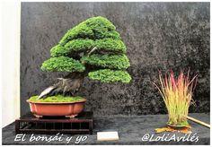 Chamaecyparis obtusa - El bonsái y yo