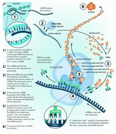 Translation - DNA to mRNA to Protein | Infographic