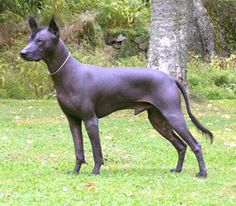Xolo Yakunta (Hoover)  A Xolo from the breeder of our two.