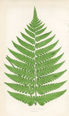 Beautiful Polypody, botanical illustration