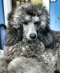 Silver Standard Poodle - Love this breed and this color!