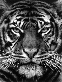 - Tiikerin kasvojen kuvio on todellista abstraktia taidetta. Se pelottaa saaliseläimen niin, että se jähmettyy kauhusta, sanoo Longo.