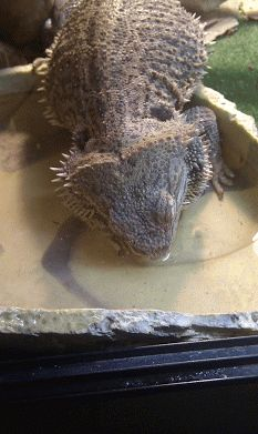 Bearded Dragon Toys: Because our favourite reptiles CAN get bored! I'll hold my hand up, my dragons are spoilt. We're forever trying to co...