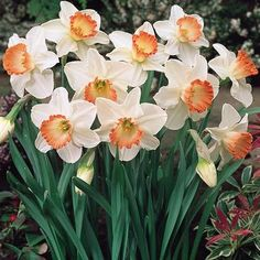 Narcissi Pink Charm - Parkers Wholesale