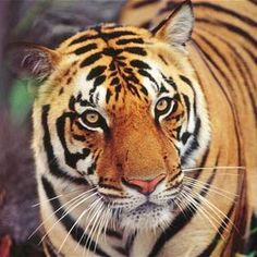 Harnessing social media in the fight to save the #tigers