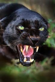 Afbeeldingsresultaat voor black panther animal