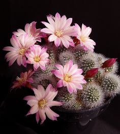 Cactus and Succulents 97 Exotic Plants, Exotic Flowers, Amazing Flowers, Pink Flowers, Beautiful Flowers, Cactus E Suculentas, Cactus Planta, Cactus Cactus, Cacti And Succulents