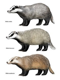 барсук badger