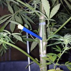How to grow huge marijuana buds? What do cannabis plants need to develop big buds? The right light, nutrients and training are ways to develop bigger and