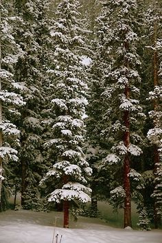 theriverjordyn:    tall pines and fresh snow, a few of my favorite things.