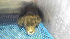 Animal ID\t35365558 \r\nSpecies\tDog \r\nBreed\tBearded Collie\