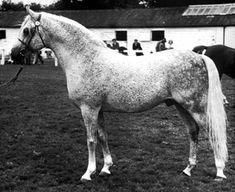 ARGOS 1957 grey stallion  Nabor x Arfa by Witraz.  Dam is full sister to Bask
