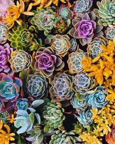 thejungalow: Were obsessed with the color pallate + shapes of these succulents! photo by - All For Gardening Cactus, Colorful Succulents, Water Based Stain, Succulent Terrarium, Terrariums, Colour Pallete, Beautiful Hands, Indoor Plants, Ted